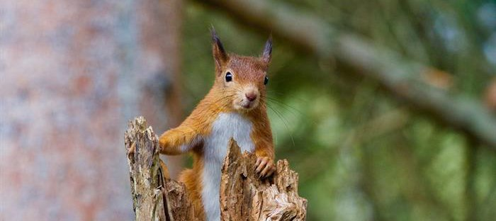 A red squirrel in the wild
